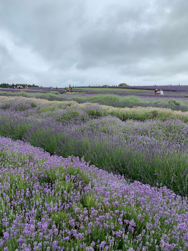 Rows of lavender at cotswold lavender