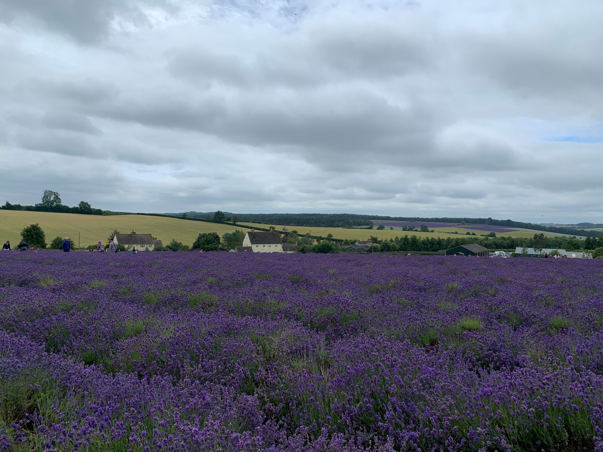 Fields of lavender at cotswold lavender